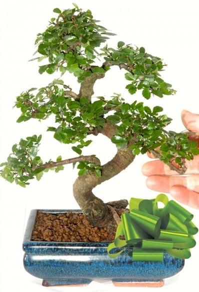 Yaklaşık 25 cm boyutlarında S bonsai  Manisa güvenli kaliteli hızlı çiçek