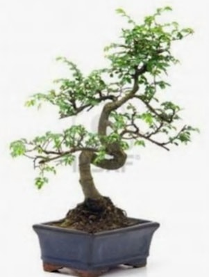 S gövde bonsai minyatür ağaç japon ağacı  Manisa hediye sevgilime hediye çiçek