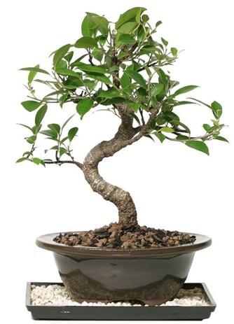 Altın kalite Ficus S bonsai  Manisa anneler günü çiçek yolla  Süper Kalite