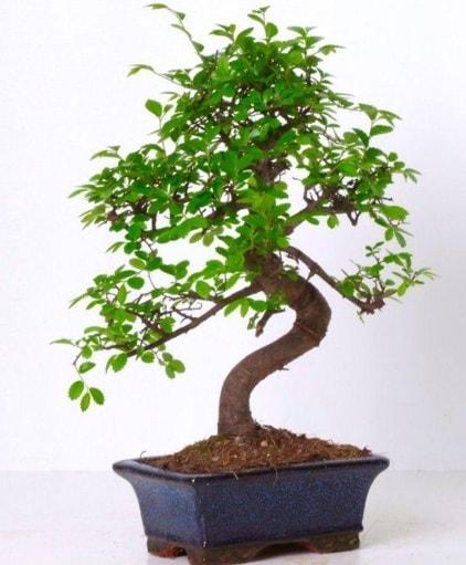 S gövdeli bonsai minyatür ağaç japon ağacı  Manisa cicekciler , cicek siparisi