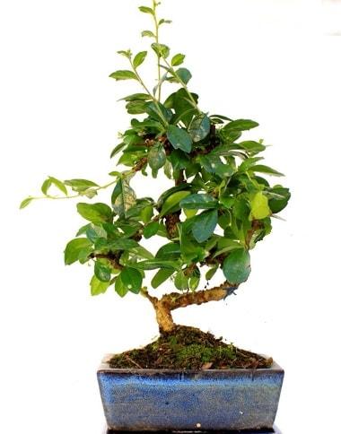 S gövdeli carmina bonsai ağacı  Manisa uluslararası çiçek gönderme  Minyatür ağaç