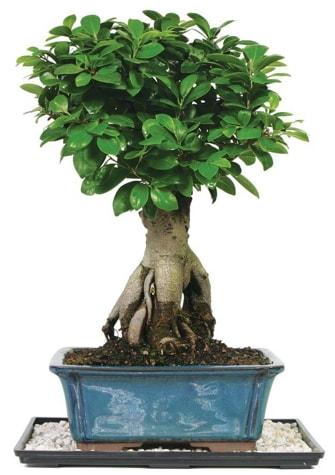 Bonsai Ginsing Grafted Ficus Bonsai  Manisa uluslararası çiçek gönderme