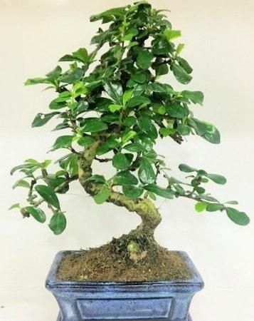 Zelkova S gövdeli Minyatür ağaç Bonzai  Manisa 14 şubat sevgililer günü çiçek