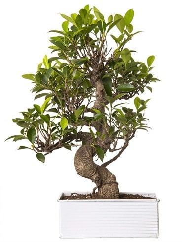 Exotic Green S Gövde 6 Year Ficus Bonsai  Manisa cicekciler , cicek siparisi