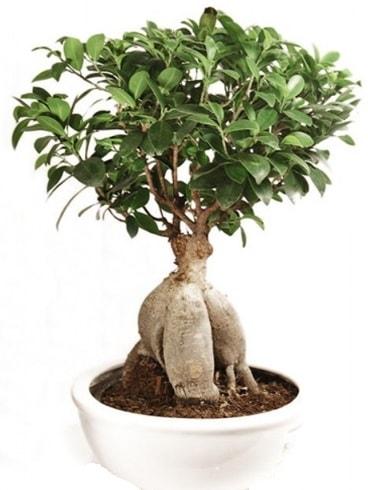 Ginseng bonsai japon ağacı ficus ginseng  Manisa cicek , cicekci